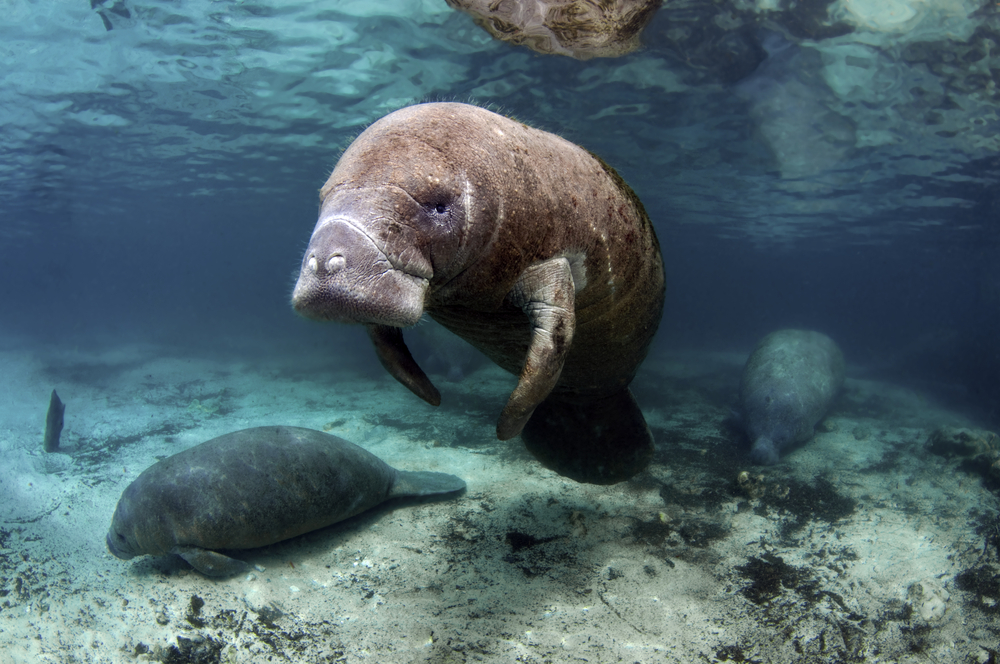 Manatees swimming with baby