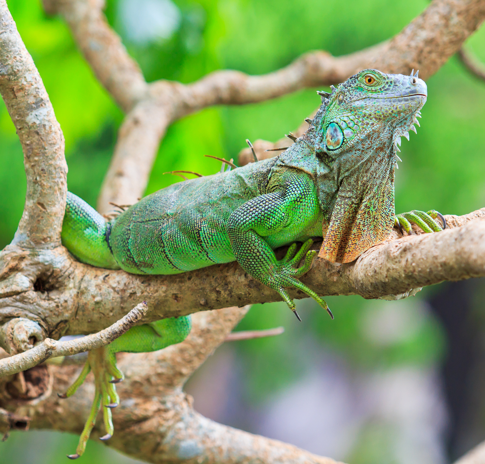 Green Iguanas on branch