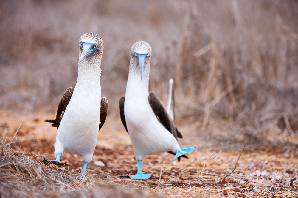 Blue-footed boobys.