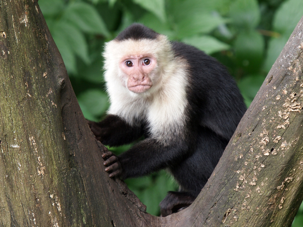 White-headed capuchins in tree