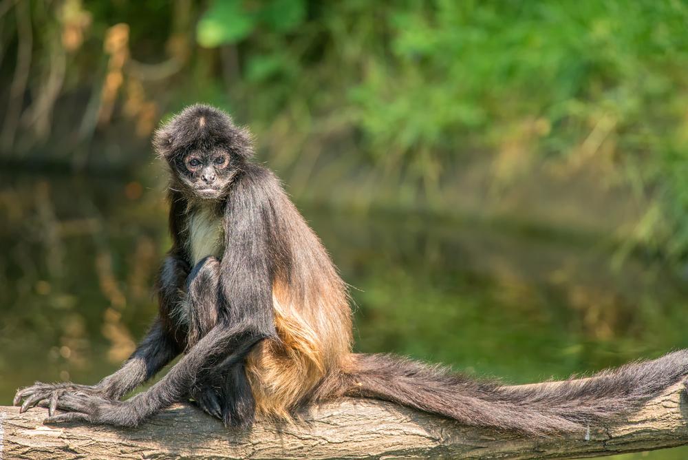 Geoffroy's spider monkeys in tree in water