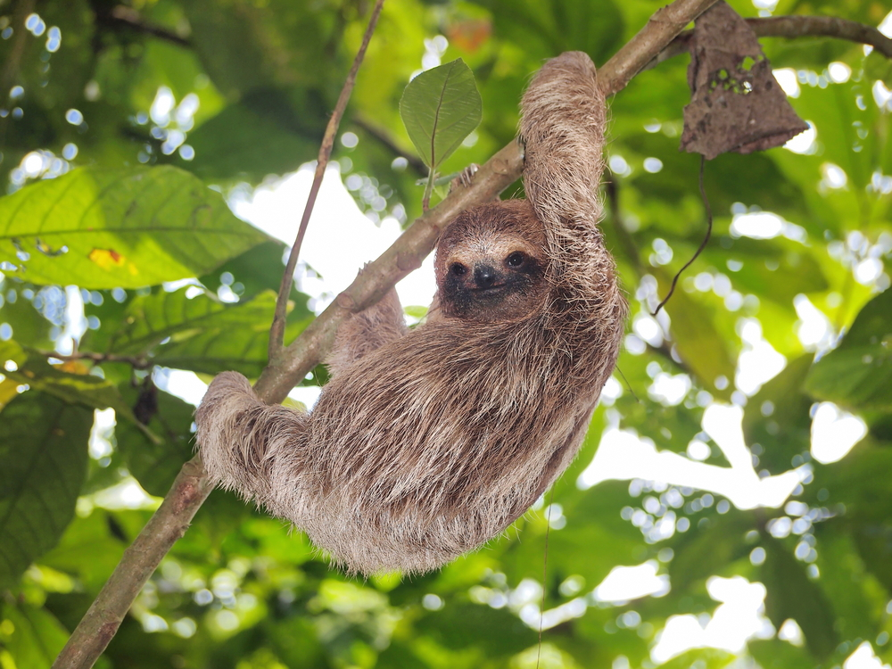 Bradypus sloths in tree Wildlife of the Panama Canal