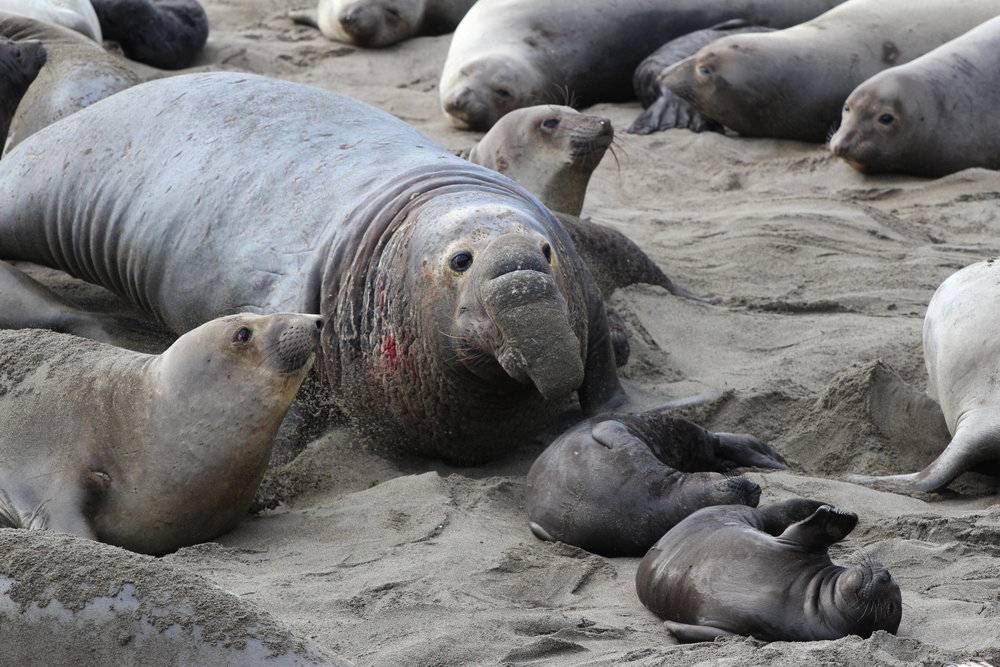 big elephant seal with baby seals on the beach