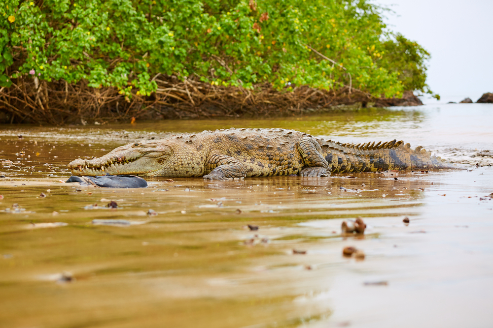 crocodiles in water