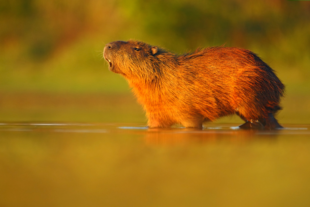 Capybaras in water