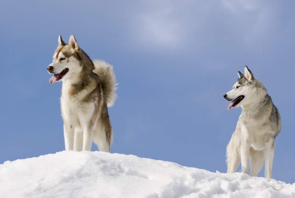 two dogs in the snow with a blue sky
