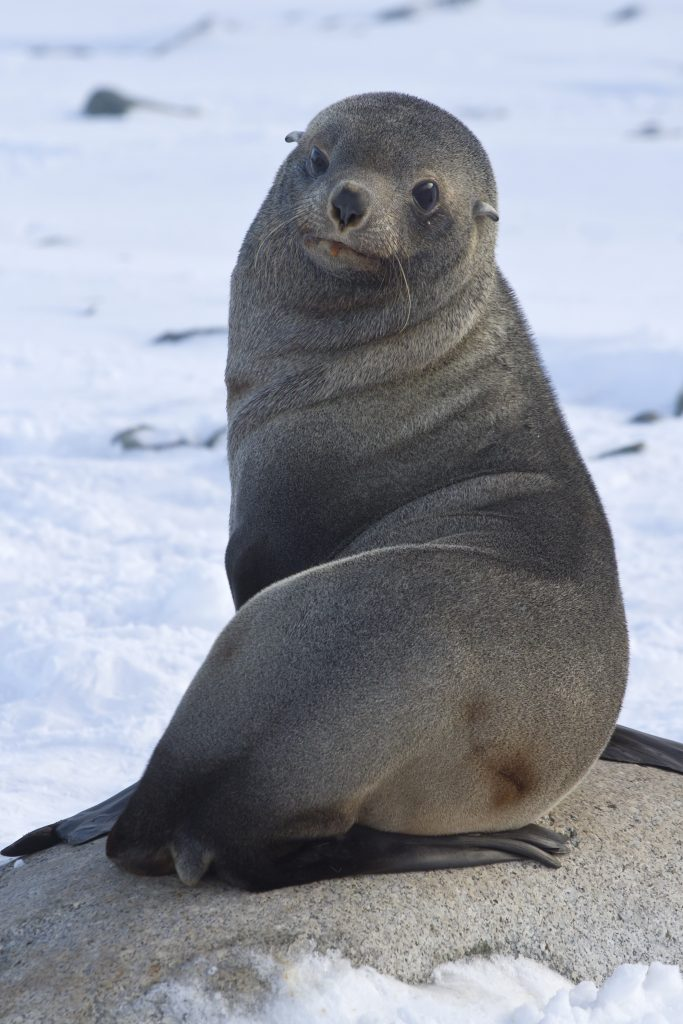 Weddell Seal looking back on the ice Antarctica