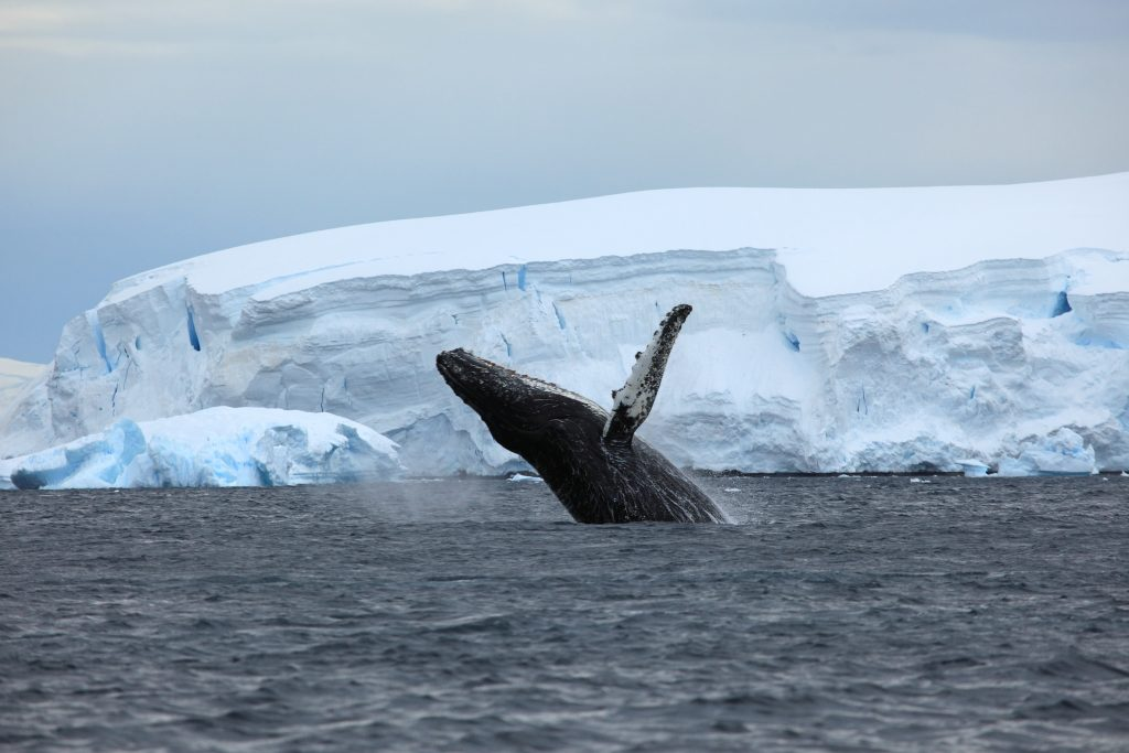 Antarctic Wildlife : Jumping whale in front of iceberg