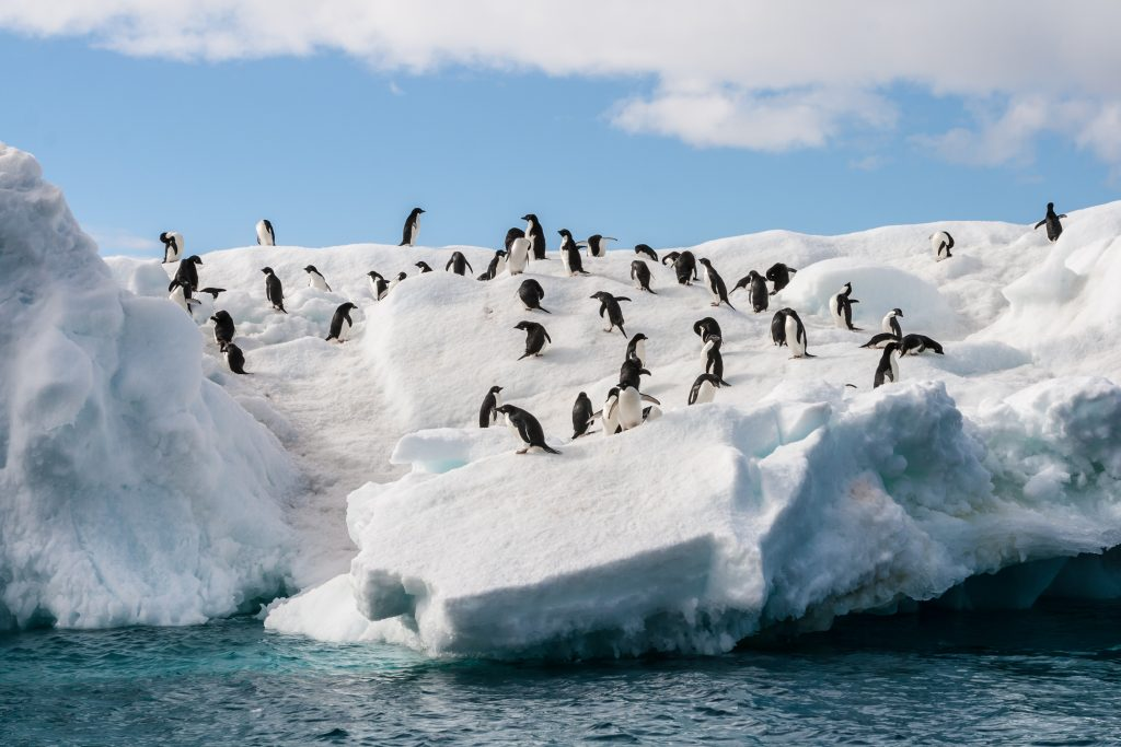 Gentoo Penguins on ice next to water