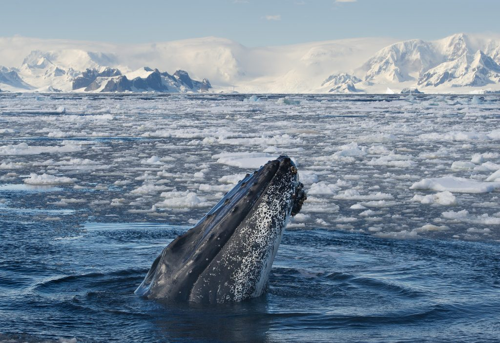 Humback whale coming out of the water with icebergs in the background