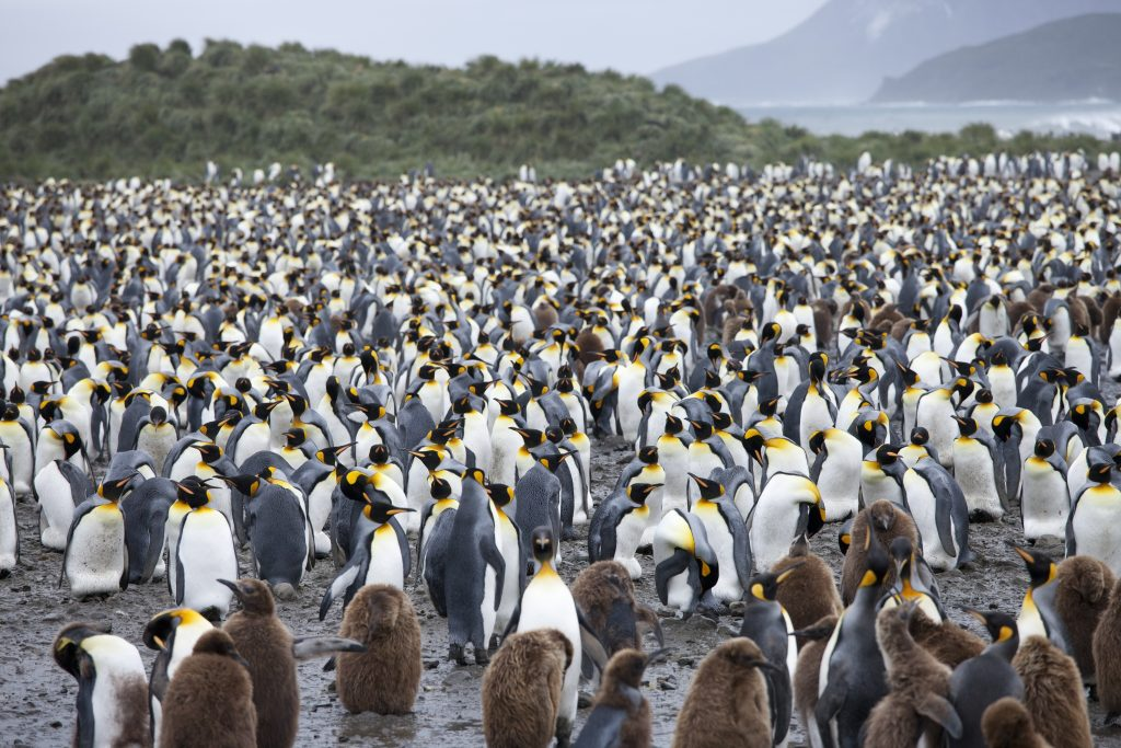 a lot of penguins on the beach of South Georgia