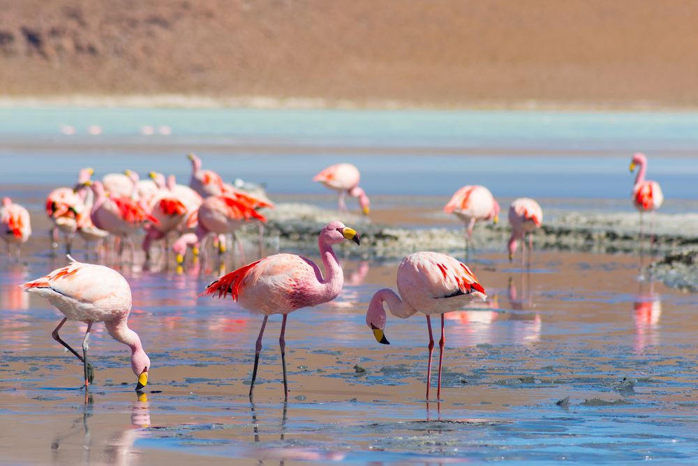 Group of flamingos in water south america