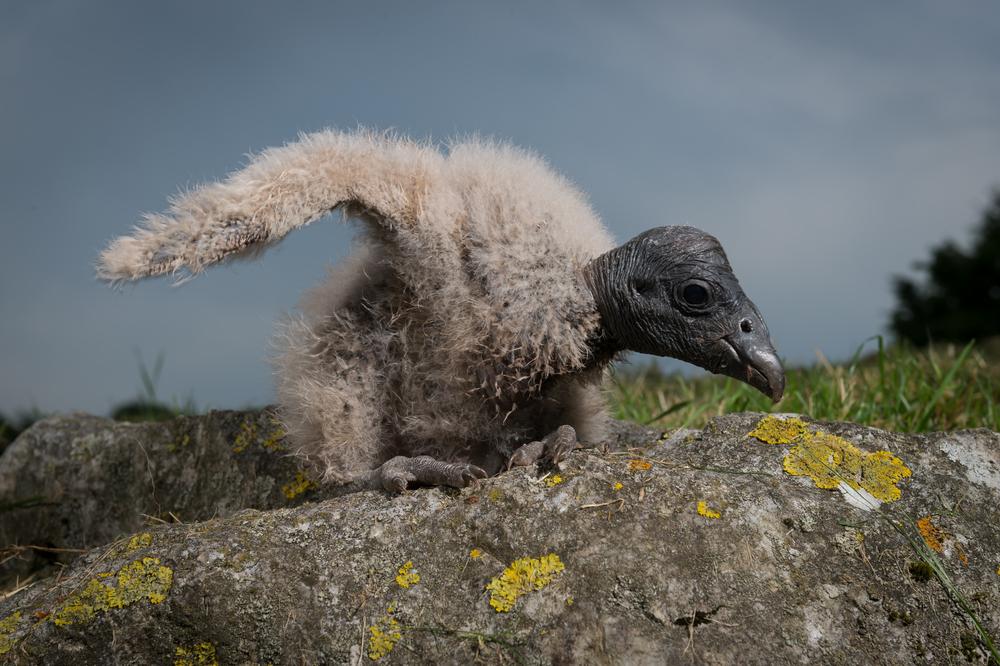 baby condor on rock