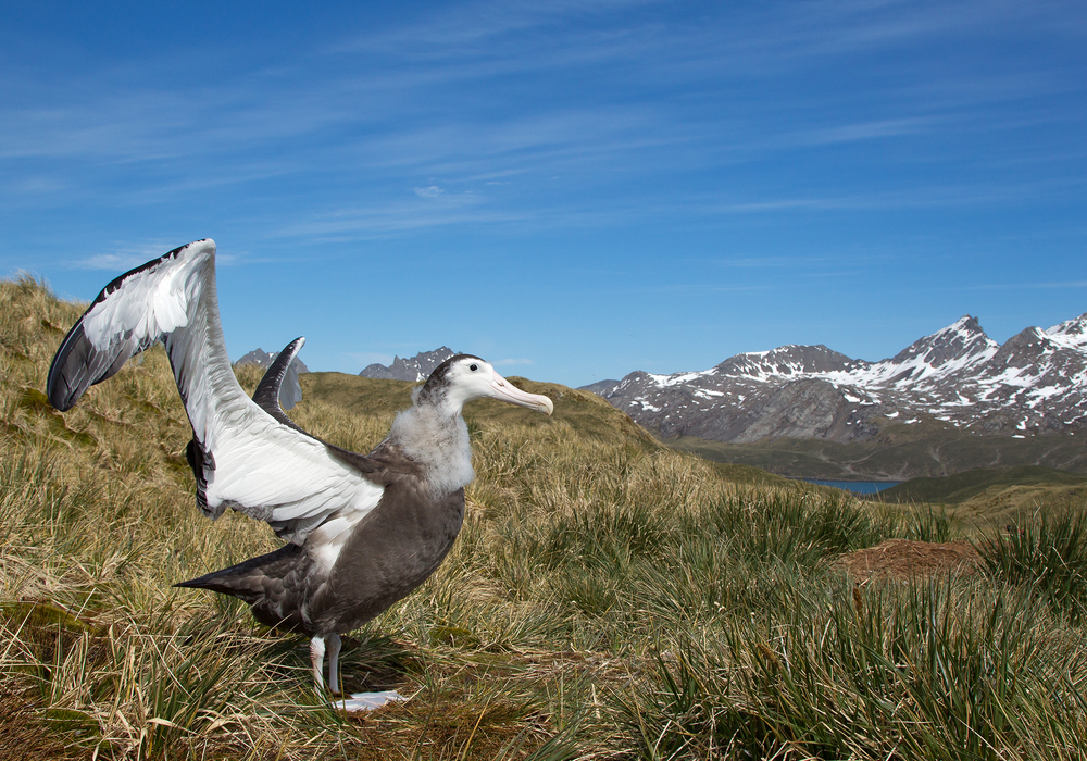 The Wandering Albatross with mountains in the backgrounds in south georgia