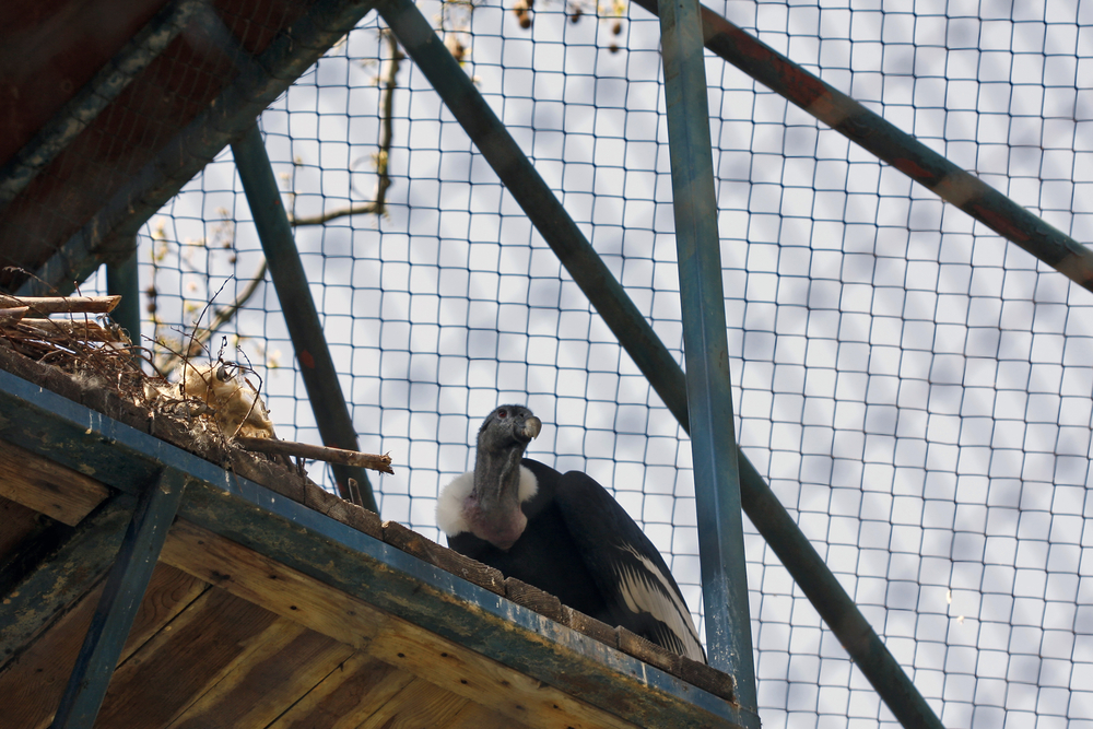 condor in a cage on a wooden platform