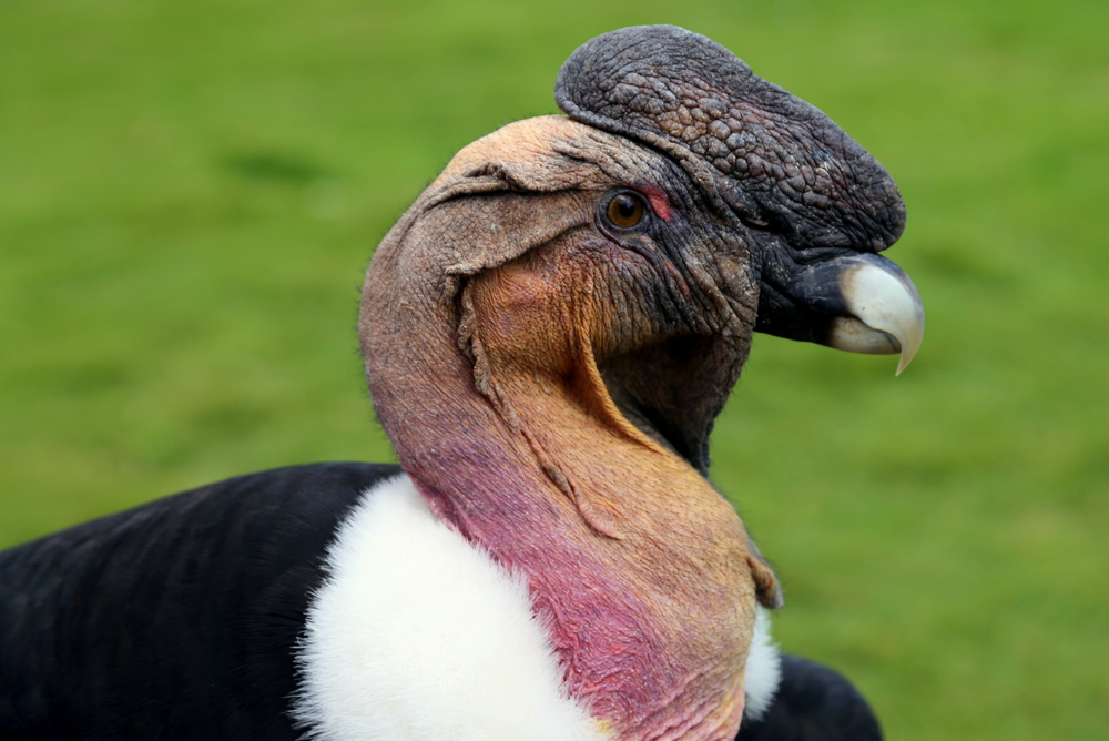 Closeup from male andean condor