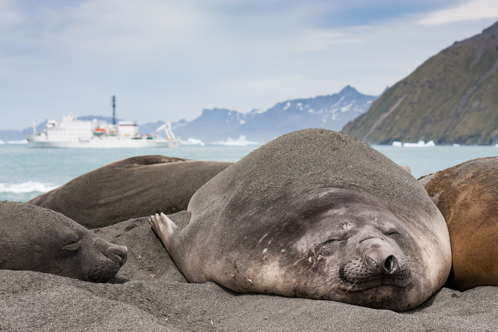Seal sleeping on black beach with mountains in the background