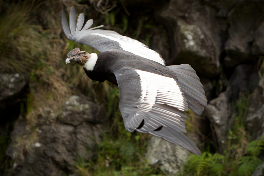 flying andean condor over mountains