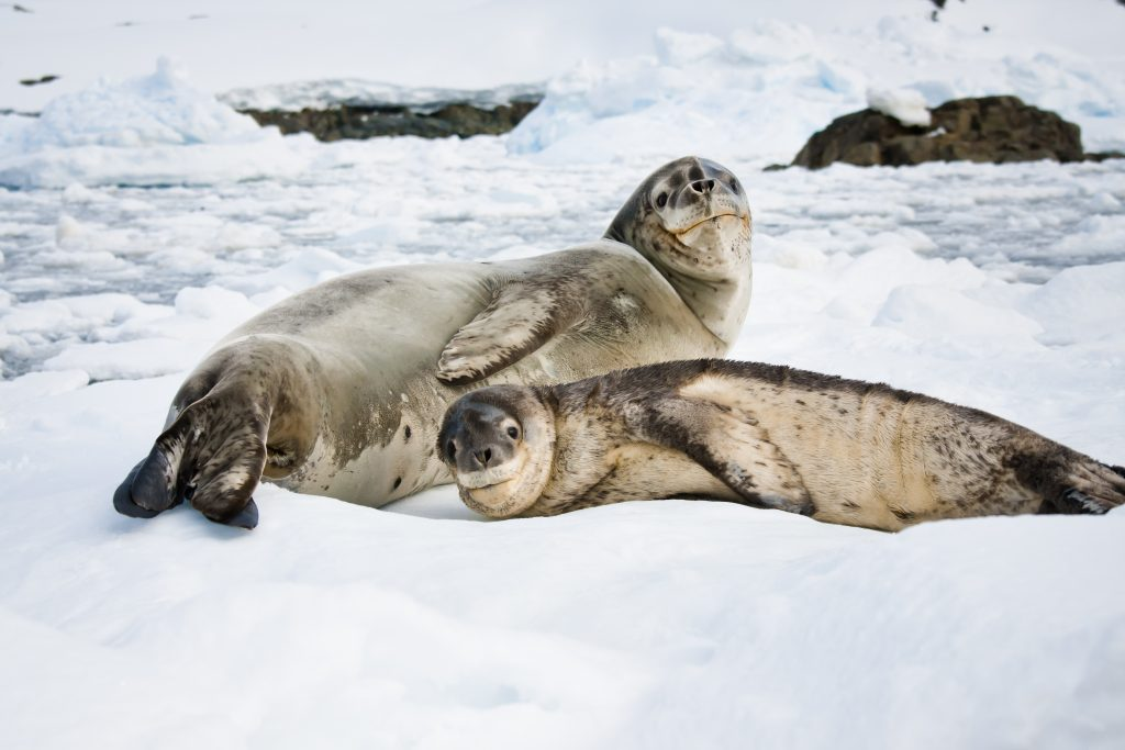 Seals on the snow in Antarctica.
