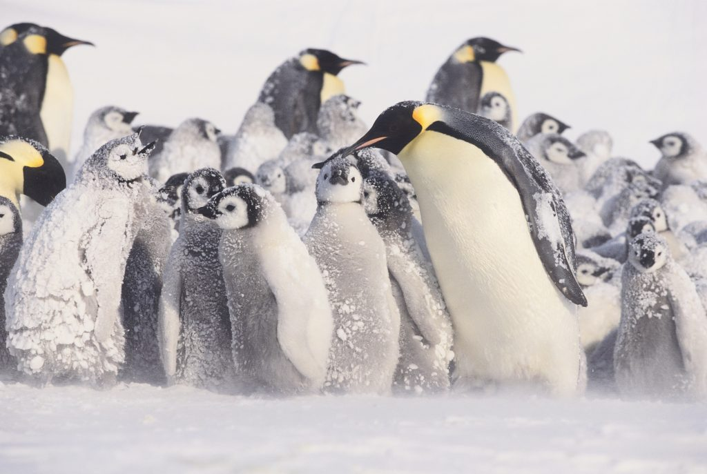 emperor penguins and their babies in the snow