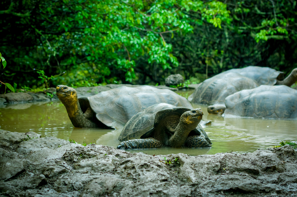 Giant Tortoises in the Galapagos.