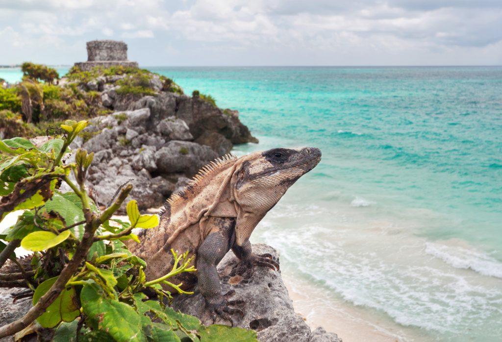 Iguana on the cliff next to white sandy beach