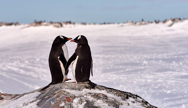 2 cute Penguins touch flippers in Antarctica