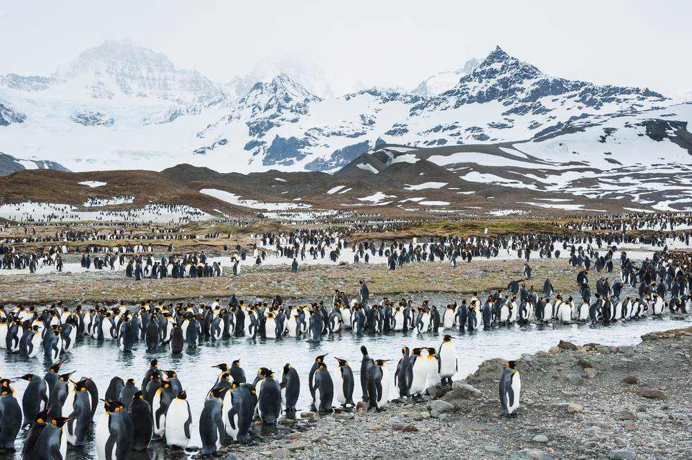 Penguin colony on South Georgia with snow capped mountains in the background