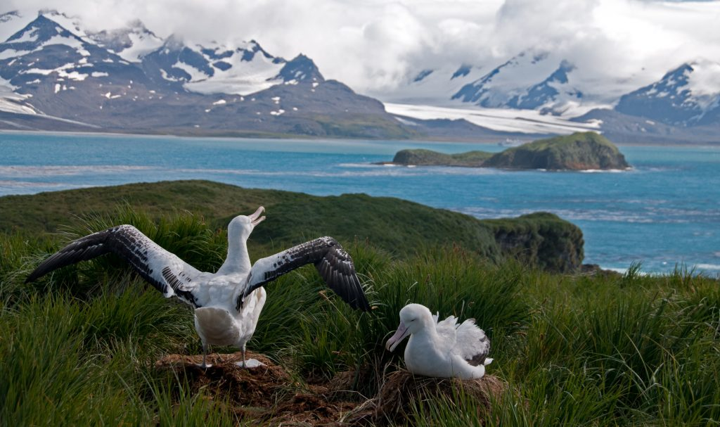 two wandering albatrosses and snow capped mountains in the background