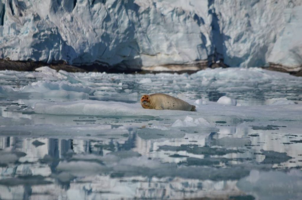 seal laying on an ice shelf in the arctic with ice in the background