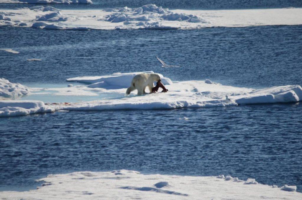 polar bear with food on ice shelf arctic