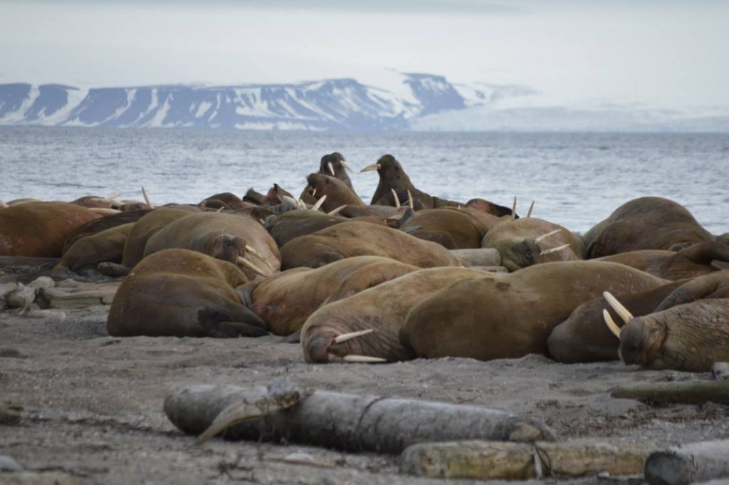 group of sea lions on the beach with snow capped mountains in the backdrop