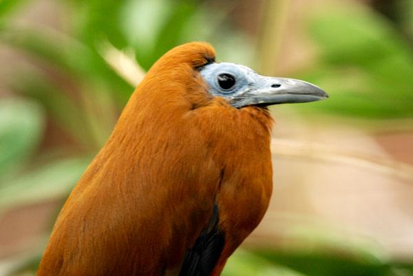 orange capuchon bird in a tree