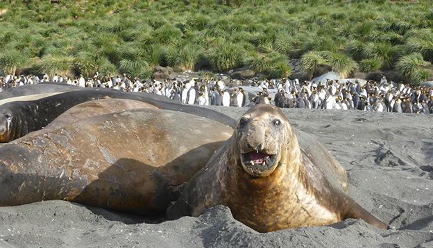 Elephant seals and penguins, South Shetland Islands.