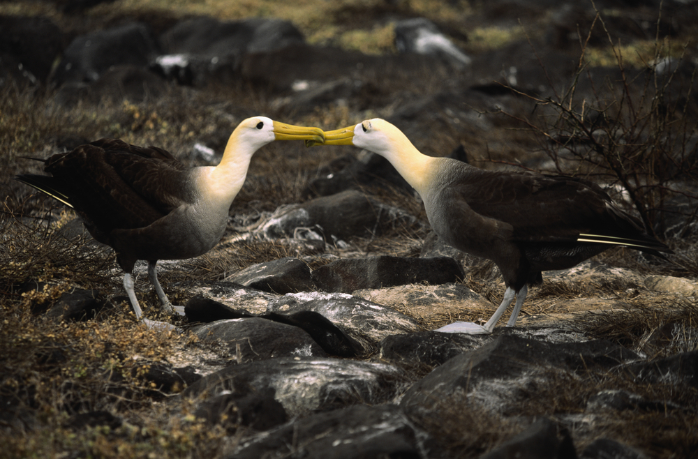 A couple of Waved albatross, on the rocks in the Galapagos