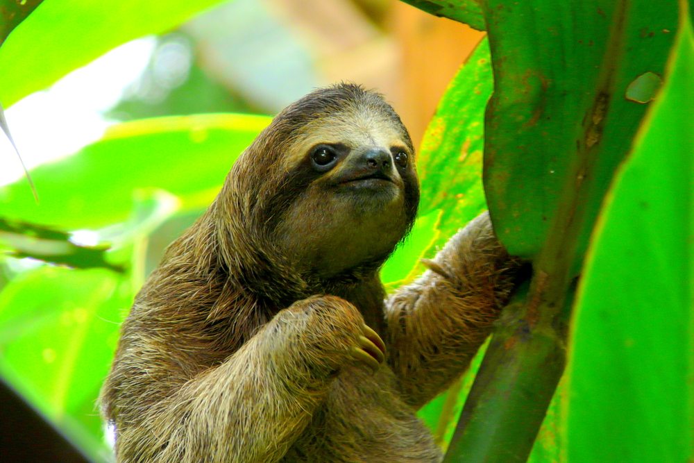 Sloths in South America.