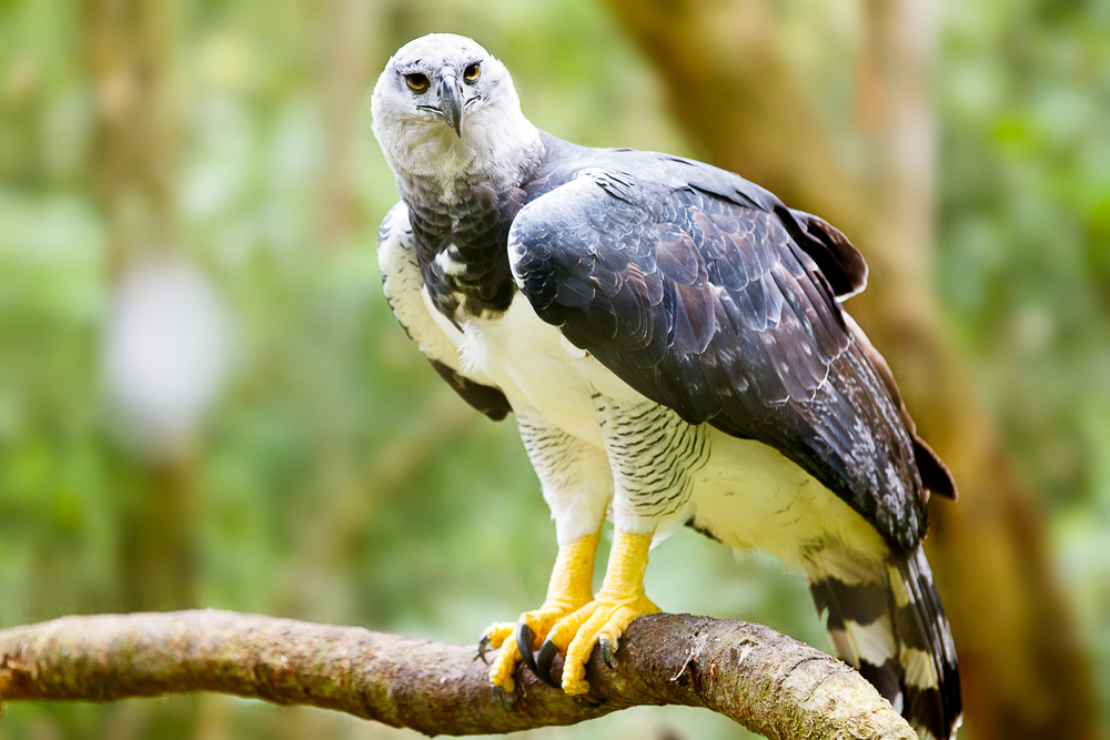 Birds in South America: Harpy Eagle on a brach in a forest