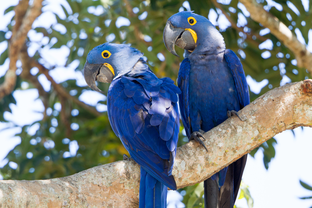 two purple with yellow hyacinth macaws in a tree