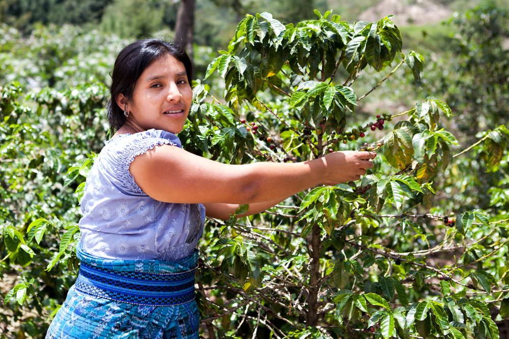 woman harvesting coffee beans