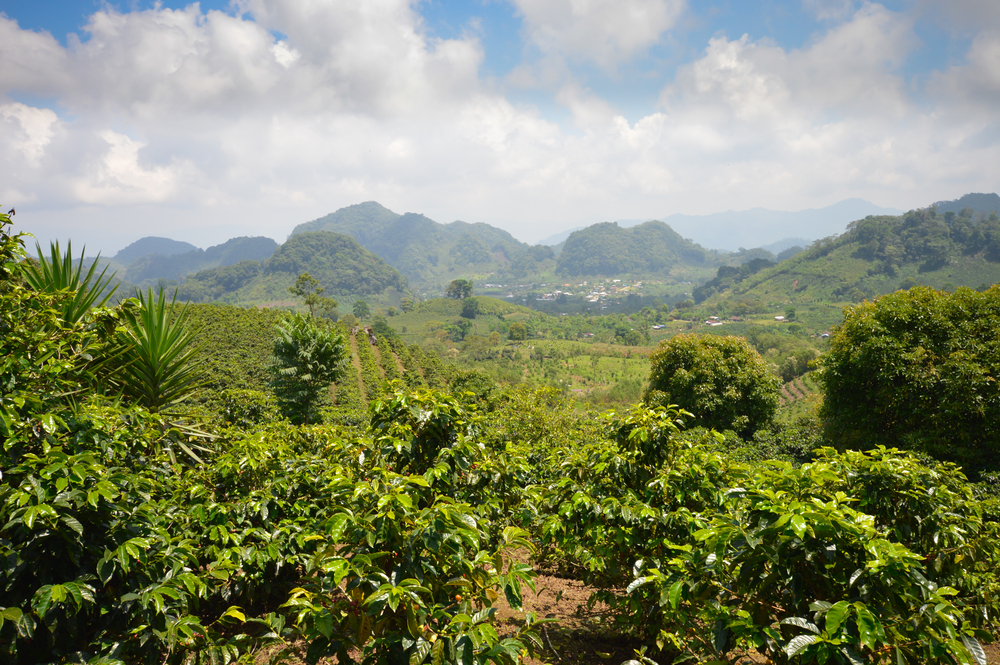 Coffee Plantations in Honduras with mountains in the background