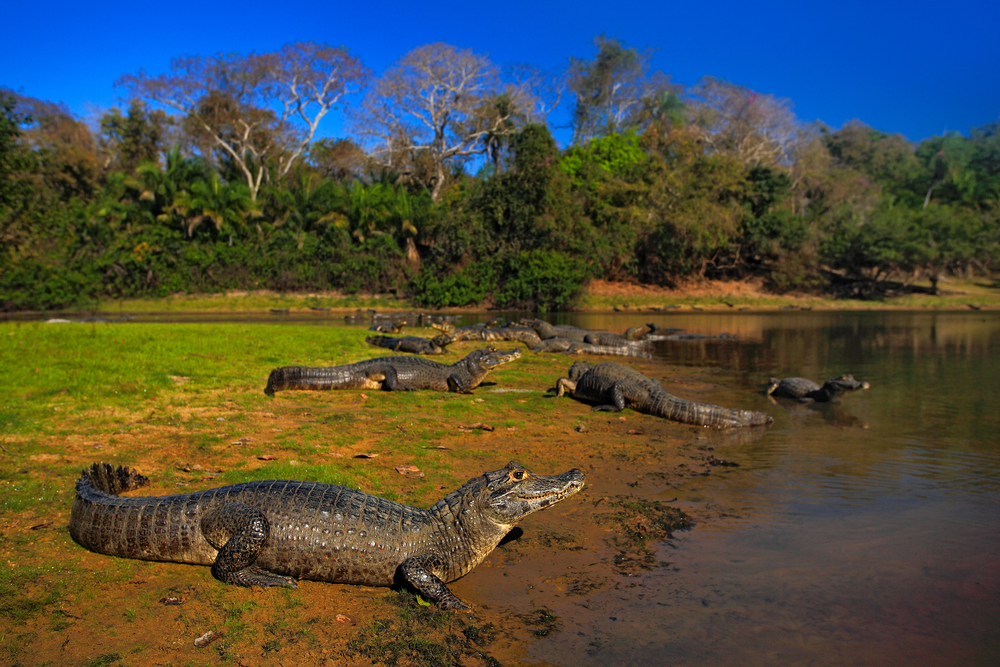 crocodiles on the side of a river with forest in background