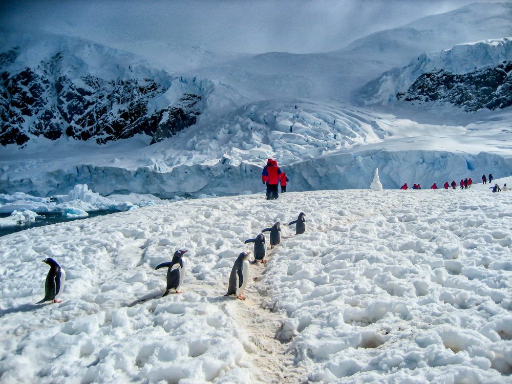penguins and human walking through the snow