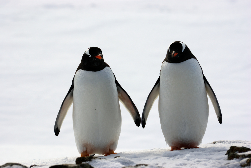 two penguins walking in the snow antarctica