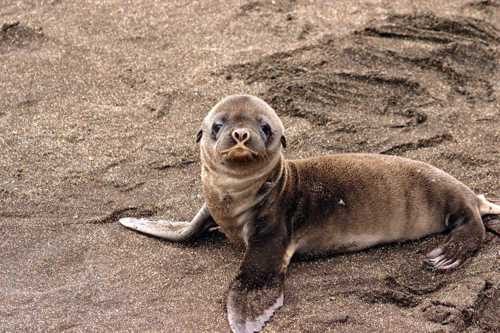 Galapagos seal sea lion