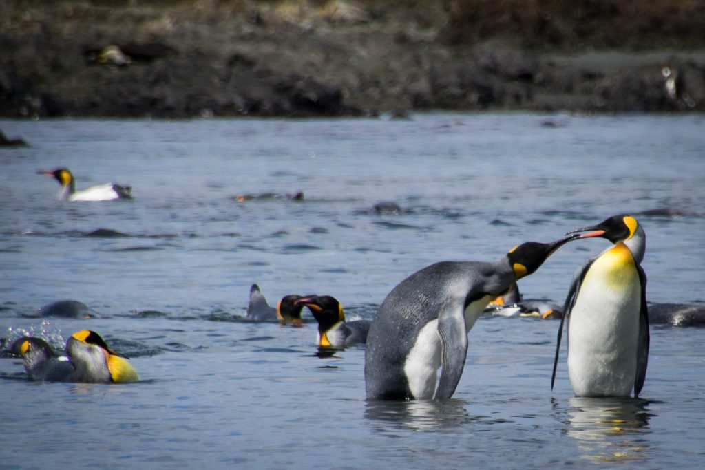 King penguins. Photo credit: Chad Carey