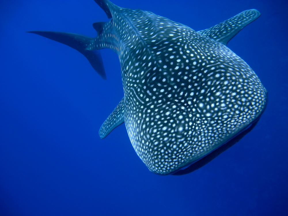 whale shark in clear blue water
