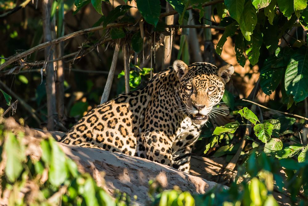 A Jaguar in the Peruvian Amazonian Jungle.