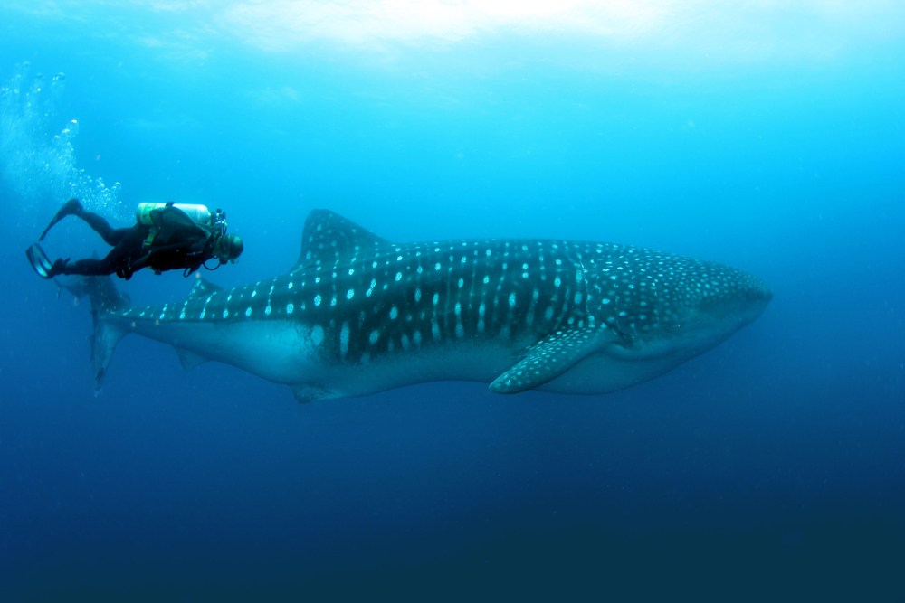 guy swimming with a whale shark in clear blue water