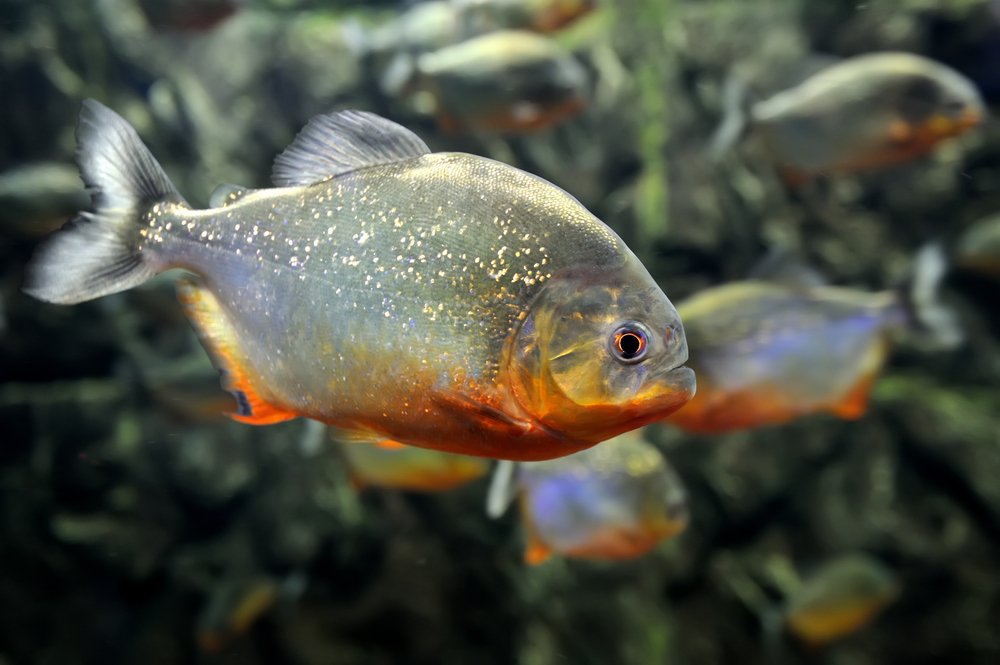 The red bellied piranha.