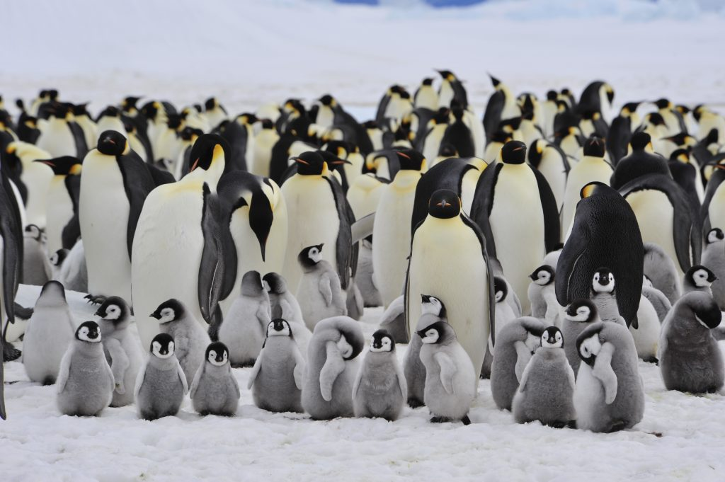 penguin colony with small penguin chicks on the ice antarctica